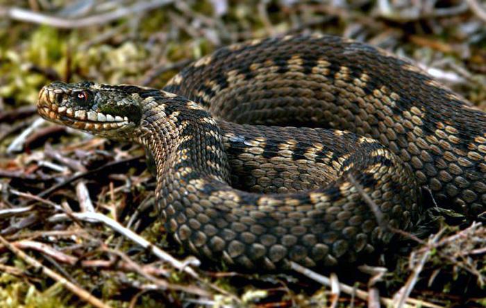 Treatment of snake bites in the UK